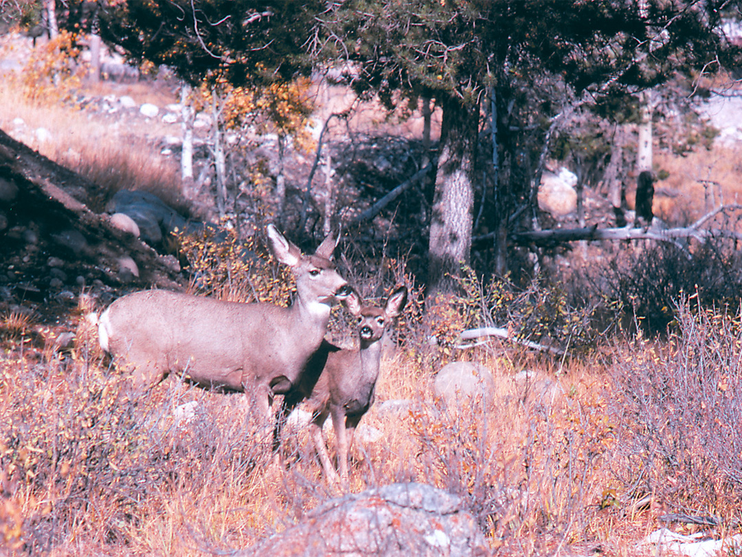 Deer, Rocky Mountains, Canada